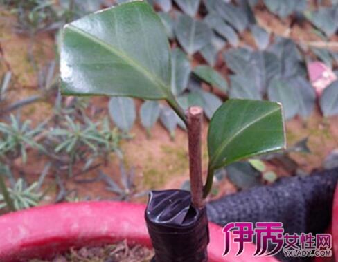 茶花嫁接用什么树 5招教你选对接穗