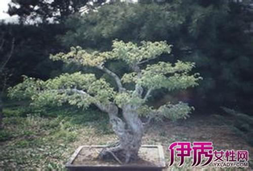 【图】一起欣赏月季树桩盆景图片 为你普及相关知识