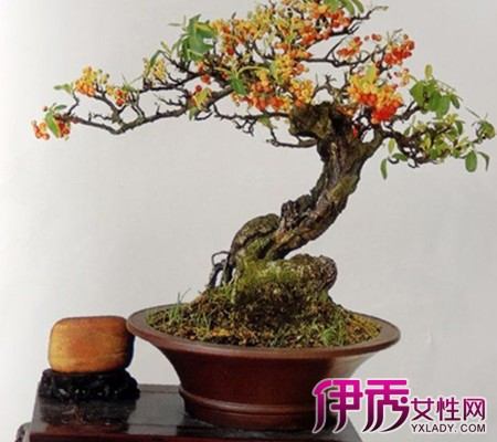 【图】火棘野生树桩盆景图片欣赏 与你分享其栽培方法与管理技巧