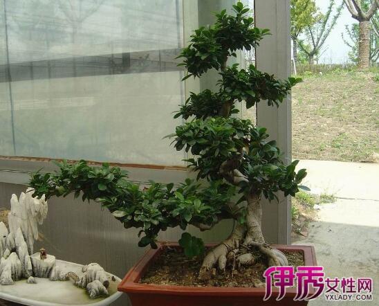 【大叶人参榕树盆景怎么修剪】【图】大叶人参榕树