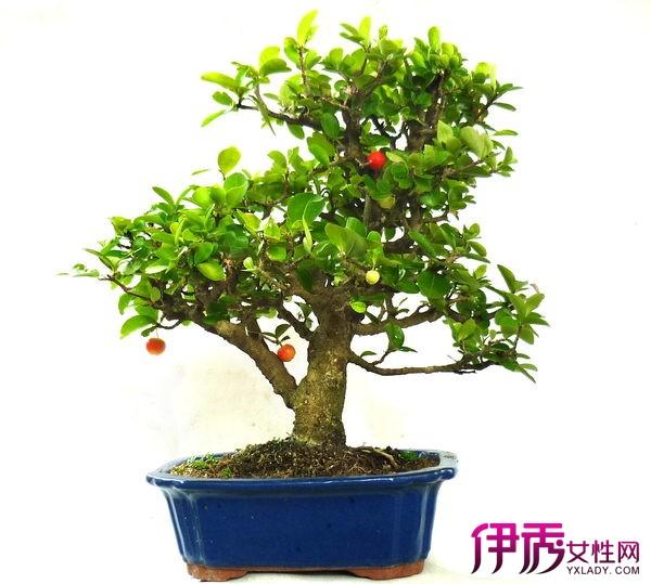 介绍盆栽樱桃养殖方法 7个方法教你养好樱桃树图片