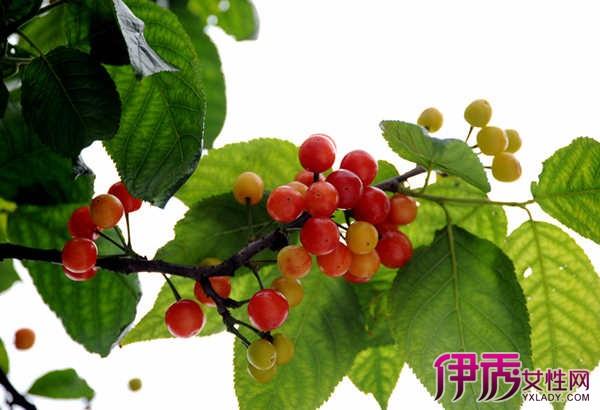 盆栽樱桃树苗的种植方法介绍 让你享受种植乐趣又能收获果实图片