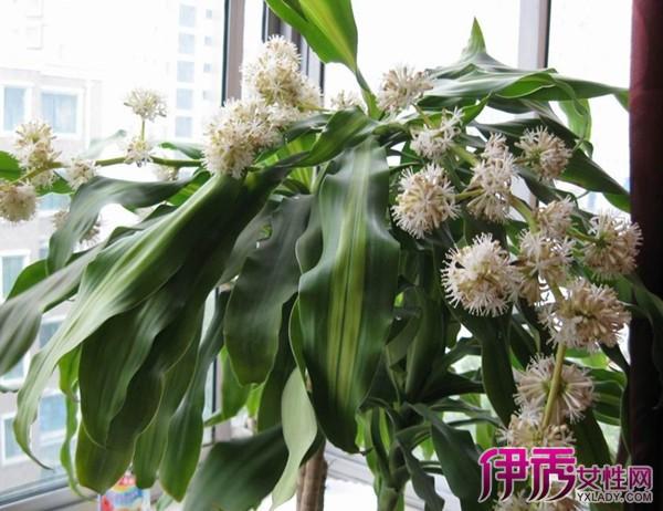 【图】大叶子植物名称和图片怎么样 适合室内盆栽大叶子植物有哪些