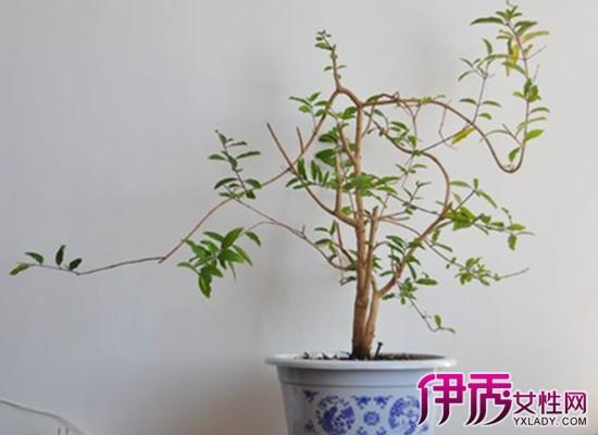 【图】石榴盆栽修剪图片大全 介绍3种盆景石榴养护方法给你养殖