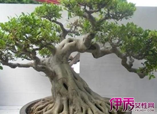 鹅掌木盆景造型