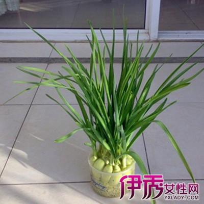 【图】大蒜发芽怎么水培呢 7步骤教你学会水培大蒜