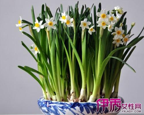 【水仙花的养殖方法和注意事项】【图】详述水仙花的