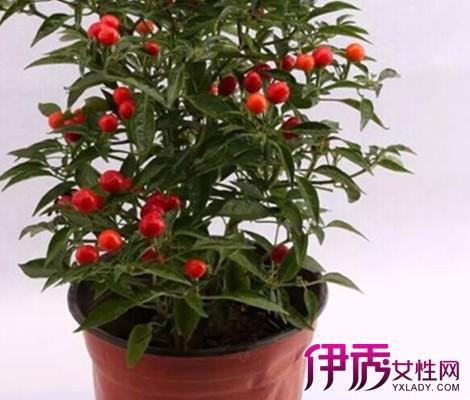 5.病虫防治 为害樱桃的主要害虫有蚜虫,尺蠖,李小食心虫.