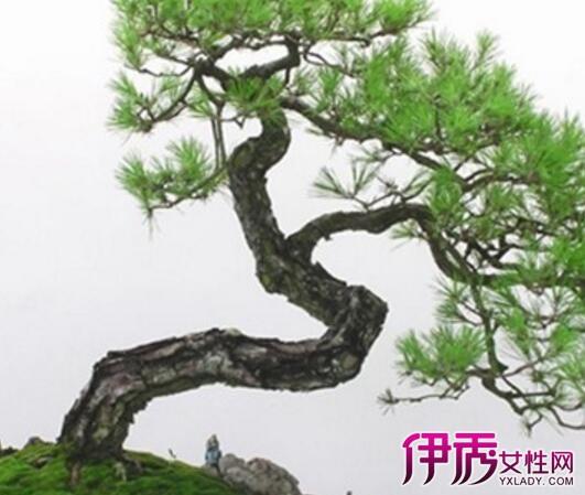 尤以从石隙中生长出的小老树