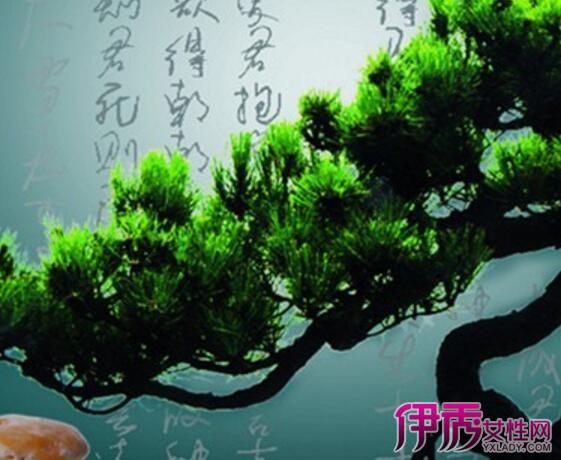 【图】松树盆栽怎么养 大师教你盆栽速成法