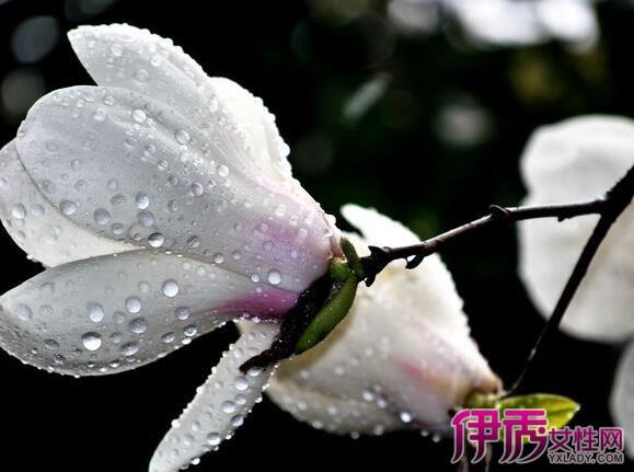 【图】水泽木兰花图片欣赏 告诉你木兰花的唯美花语