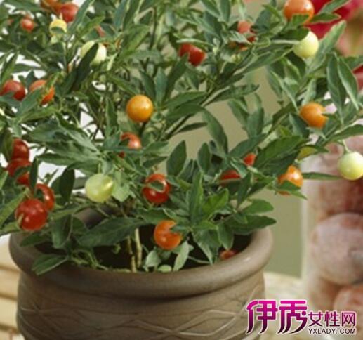 盆栽樱桃树几年结果 7个方法教你养好樱桃树图片
