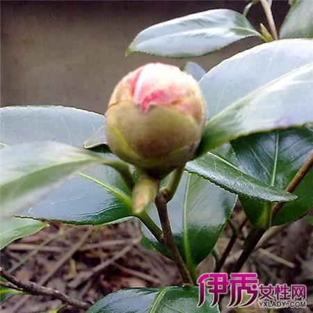 【图】牡丹花枝刚发芽的图片欣赏 为你介绍牡丹花的种植技巧