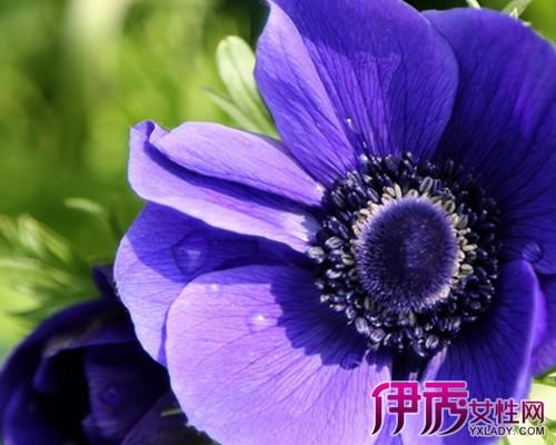 【图】银莲花花语有哪些