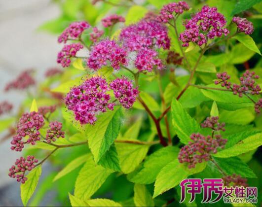 【图】红花满天星叶子全干枯怎么办 介绍5种方法让你好花开不败