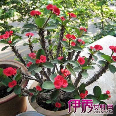 【图】盆栽刺梅花图片展示 分享其6个高效栽培技术