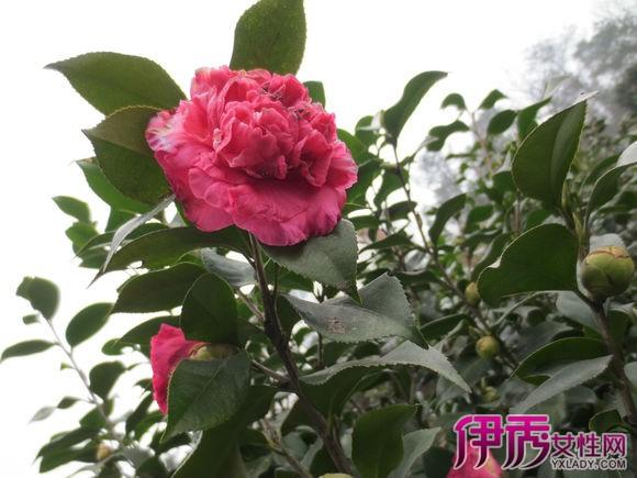 【图】盆栽茶花树图片展示 教你如何养殖茶花树