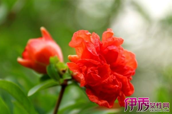 【图】全网大搜罗盆栽石榴花图片 教你如何种美花