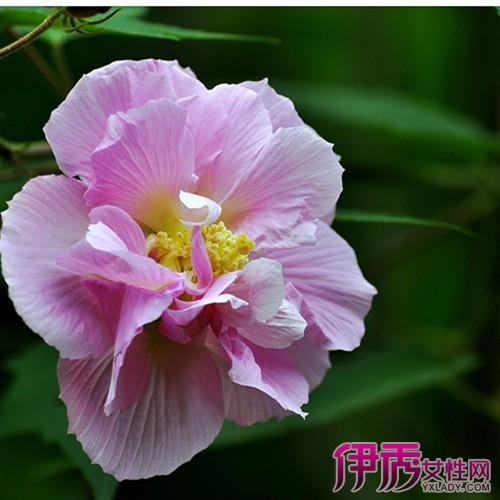 【图】木芙蓉树图片大全 种植美丽植物的正确打开方式