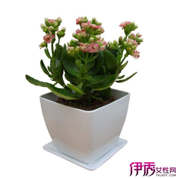 风水盆栽长寿花图片 小巧通透盆栽给房间增加一抹自然图片