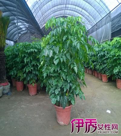 【图】介绍幸福树的修剪方法图解 注意多施含钾丰富的肥料