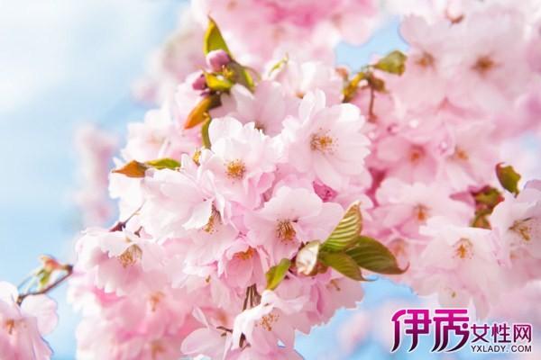 【图】樱花花瓣飘落图片分享 为你分享樱花知识