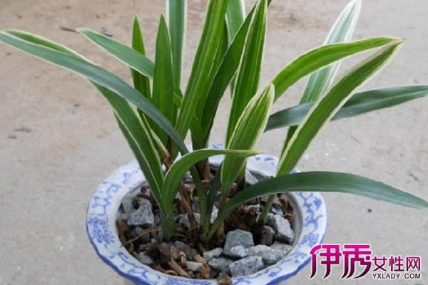 【图】金边兰花草的种植方法 教你如何家居盆栽