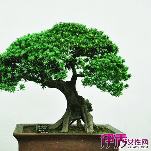 【图】小松树盆栽养殖的注意事项 罗汉松生活习性大解密