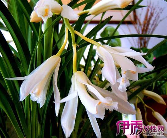 兰花图片及品种名称介绍 了解欣赏7个常见的兰花品种