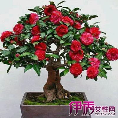 花卉上盆图片茶花嫁接-花卉上盆图片
