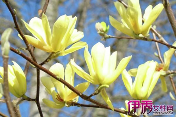 【图】黄玉兰树图片大全赏析 几个妙招让你知道黄玉兰的培植