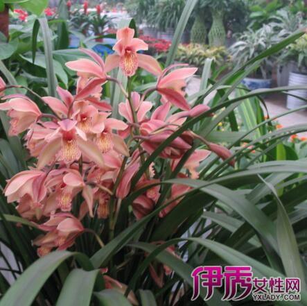秦岭蕙兰图片欣赏 几大种植技巧帮你种出美丽花卉