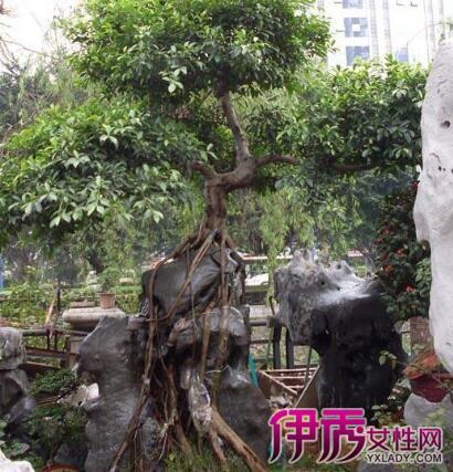 分享榕树盆景的嫁接技巧