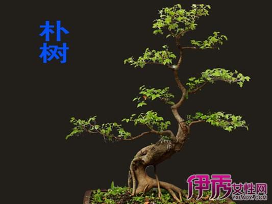 但若是要使家里的朴树盆景保持优雅美观的造型,日常生活中也千万不能