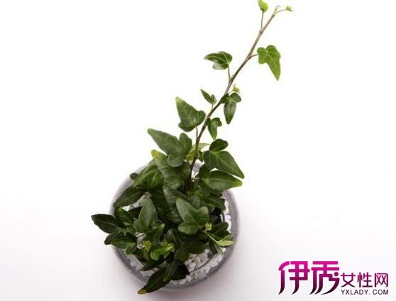 【图】室内四季藤蔓植物有哪些 介绍4种藤本植物