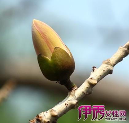 【图】木棉树果实图片 该植物有哪些形态特征呢