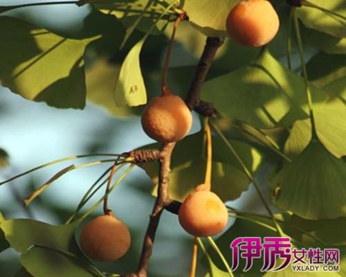 【银杏树的果子图片】【图】银杏树的果子图片欣赏