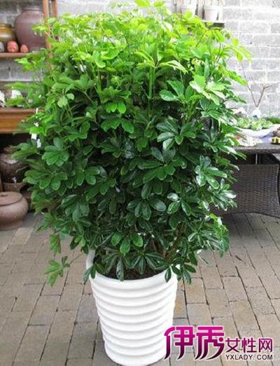 鸭掌木又称鸭脚木,发财树,小叶手树,因为其名称吉利,叶形好看,一年四