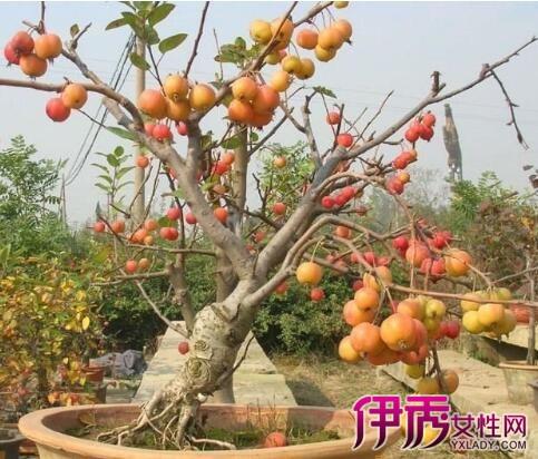 【图】开心果树盆栽怎么种 专家教你如何培育开心果树!