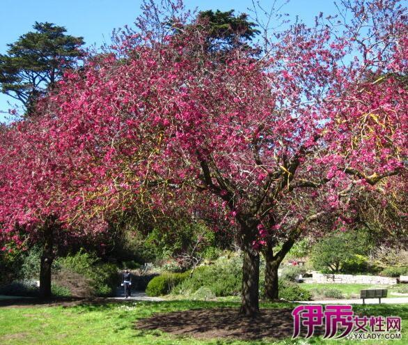 【图】红梅花树图片欣赏 四大步骤轻松教你如何种植它们