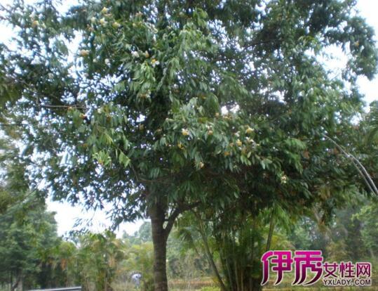 【图】铁力木树图片大放送 其种植方式是什么