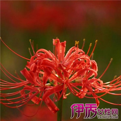 红曼珠沙华的花语介绍 为你揭秘关于彼岸花的相关传说