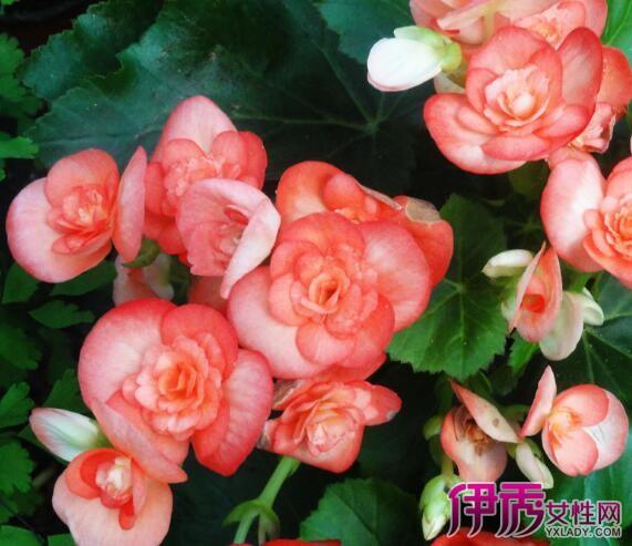 各种盆栽海棠花的图片欣赏 教你几招种植的技巧