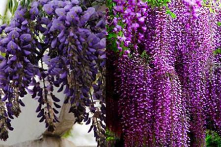 【图】紫藤萝花几月开花 有什么营养功效