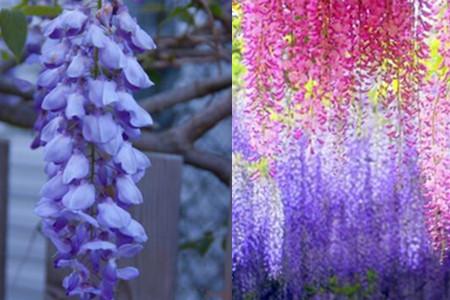 和其他的花一样,紫藤萝花也有自己的花语.