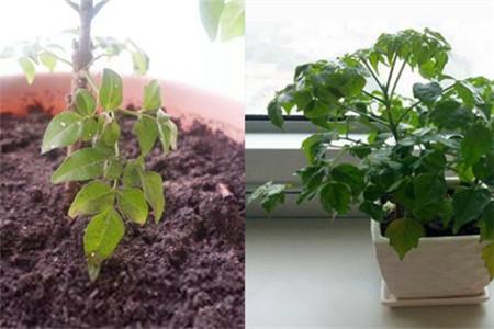 【图】幸福树的修剪方法图解 养殖方法和注意事项