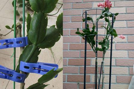 【图】叶仙嫁接蟹爪兰方法 三个简单步骤植株就能成活图片