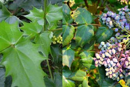 【图】叶子有刺的植物叫什么名字 这四种花草药用价值多多图片