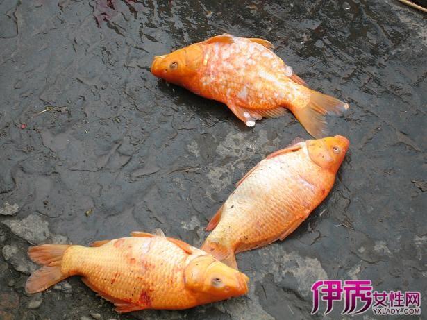 红鲫鱼公母图片,区分其实没那么难图片