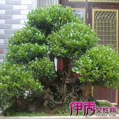 【图】小叶赤楠盆景图片展示 介绍其养护管理方法